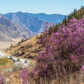 Весна на Чуйском тракте. Цветение маральника
