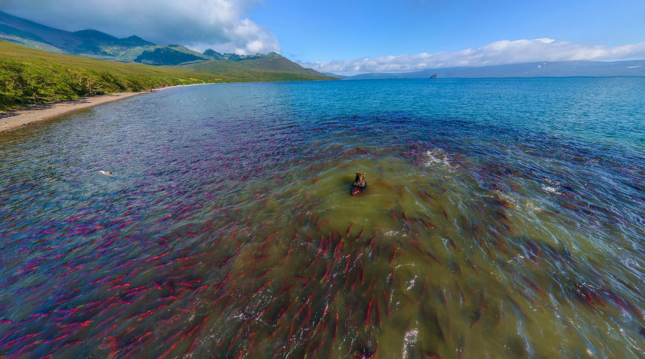 Медвежья охота на рыбу в Курильском озере